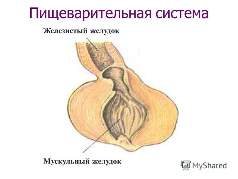 Железистый желудок Мускульный желудок