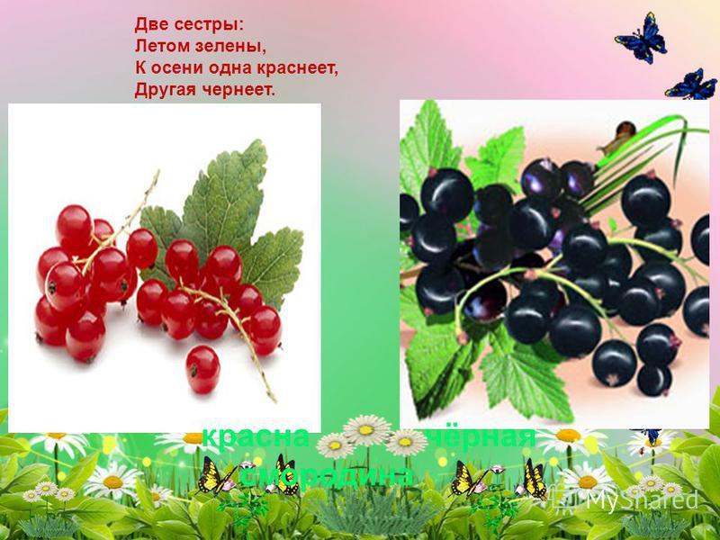 красна чёрная смородина Две сестры: Летом зелены, К осени одна краснеет, Другая чернеет.