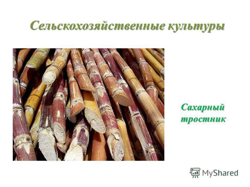 Сельскохозяйственные культуры Сахарныйтростник