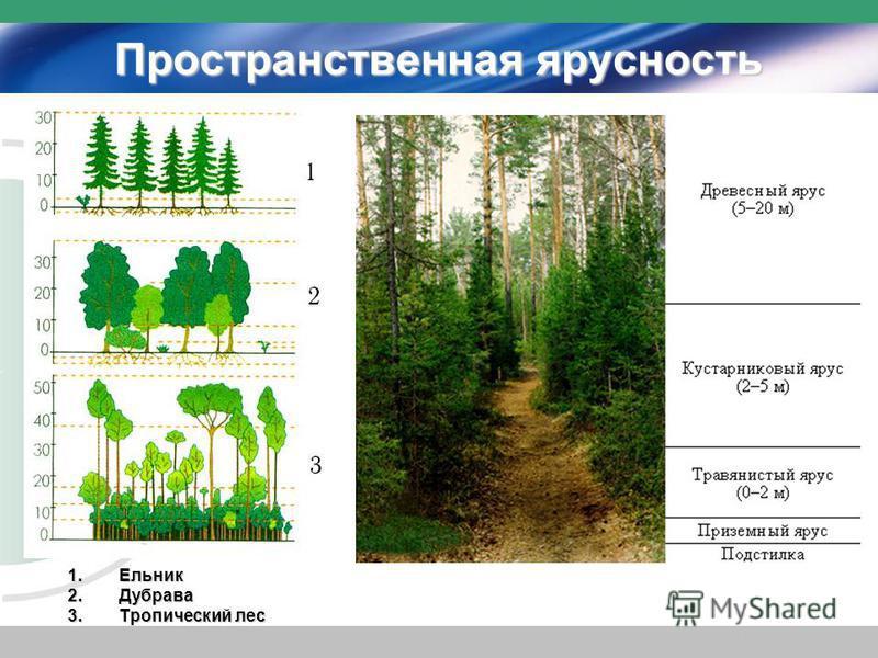 Пространственная ярусность 1. Ельник 2. Дубрава 3. Тропический лес