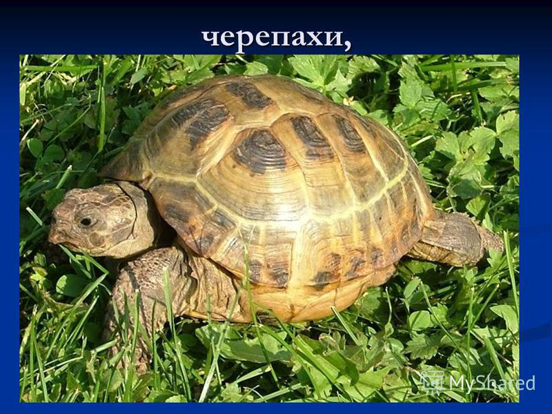 черепахи,