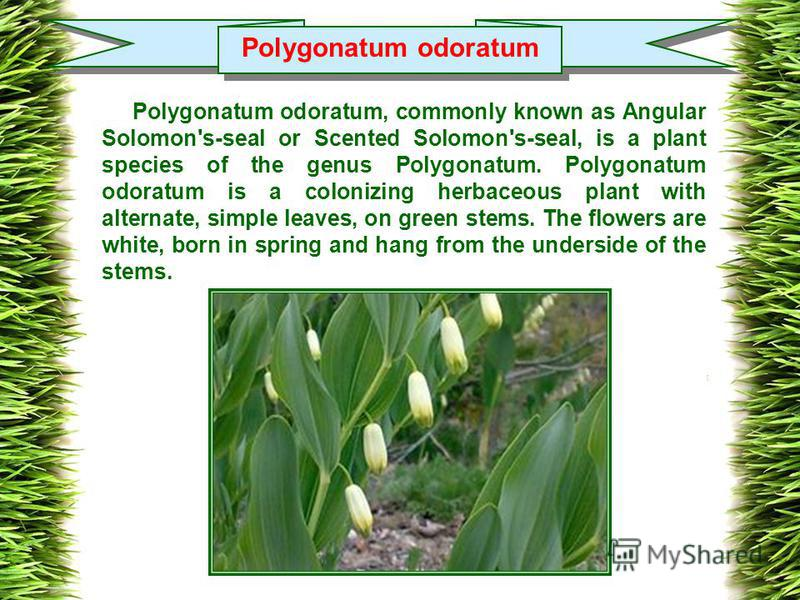 Polygonatum odoratum Polygonatum odoratum, commonly known as Angular Solomon's-seal or Scented Solomon's-seal, is a plant species of the genus Polygonatum. Polygonatum odoratum is a colonizing herbaceous plant with alternate, simple leaves, on green