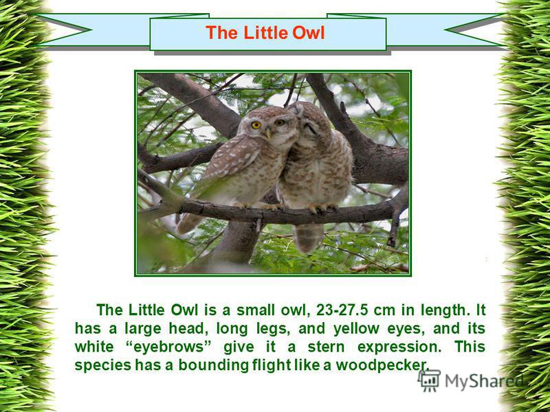 The Little Owl The Little Owl is a small owl, 23-27.5 cm in length. It has a large head, long legs, and yellow eyes, and its white eyebrows give it a stern expression. This species has a bounding flight like a woodpecker.