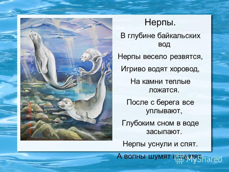 Нерпы. В глубине байкальских вод Нерпы весело резвятся, Игриво водят хоровод, На камни теплые ложатся. После с берега все уплывают, Глубоким сном в воде засыпают. Нерпы уснули и спят. А волны шумят и шумят.