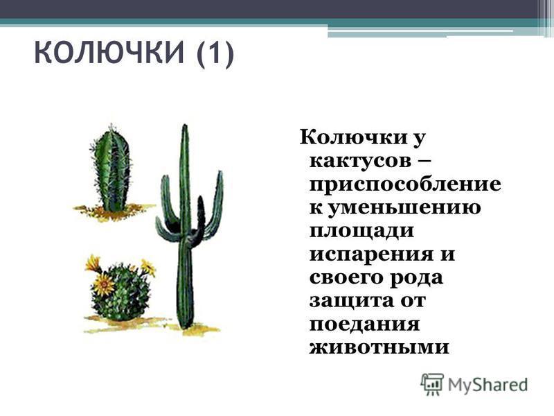 КОЛЮЧКИ (1) Колючки у кактусов – приспособление к уменьшению площади испарения и своего рода защита от поедания животными