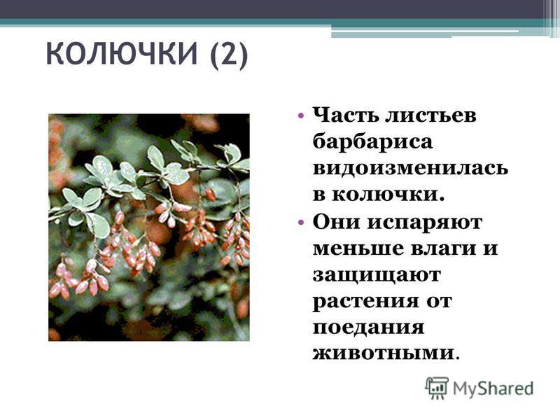 КОЛЮЧКИ (2) Часть листьев барбариса видоизменилась в колючки. Они испаряют меньше влаги и защищают растения от поедания животными.