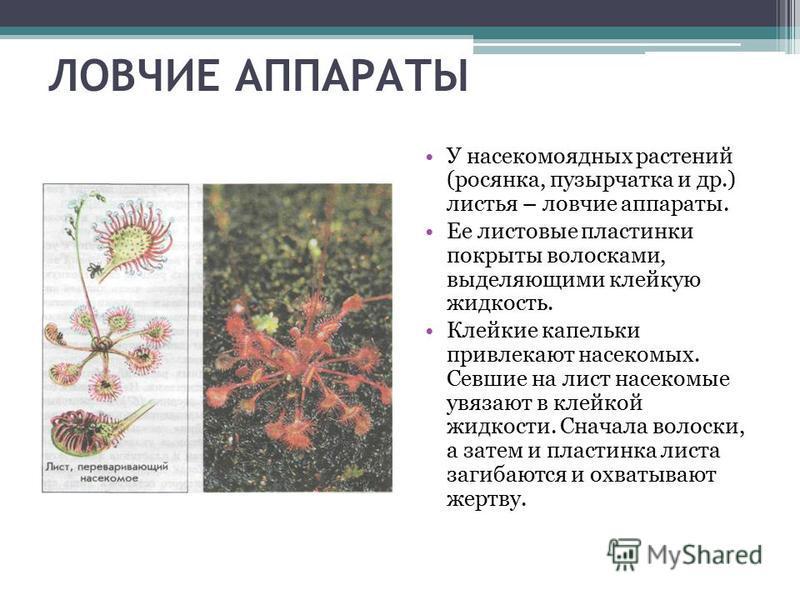 ЛОВЧИЕ АППАРАТЫ У насекомоядных растений (росянка, пузырчатка и др.) листья – ловчие аппараты. Ее листовые пластинки покрыты волосками, выделяющими клейкую жидкость. Клейкие капельки привлекают насекомых. Севшие на лист насекомые увязают в клейкой жи