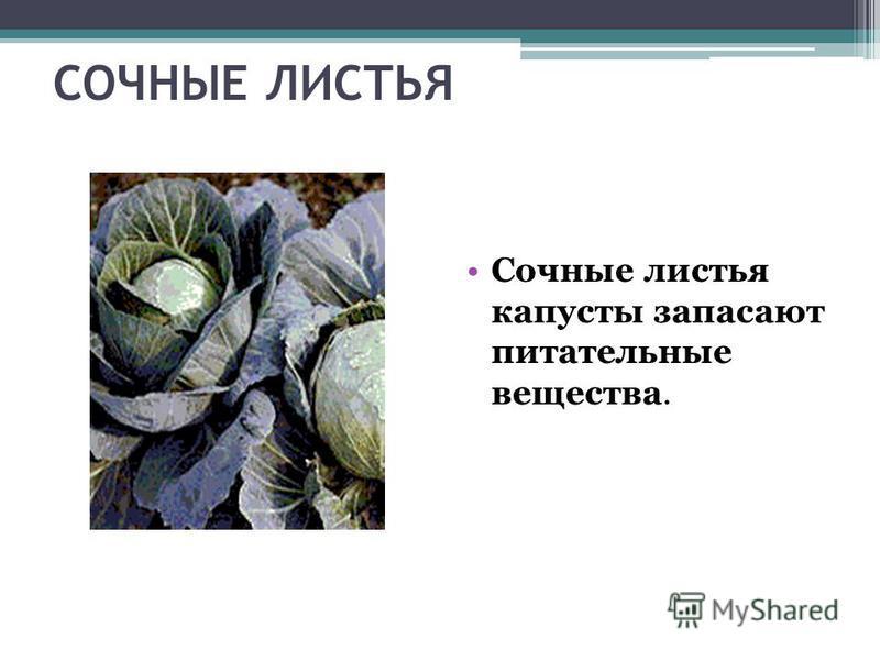 СОЧНЫЕ ЛИСТЬЯ Сочные листья капусты запасают питательные вещества.