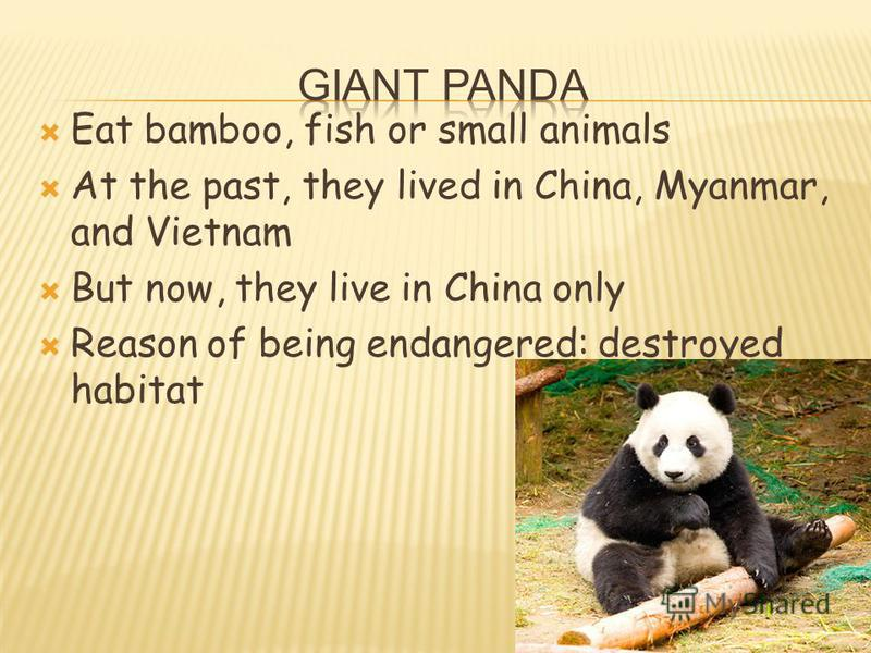 Eat bamboo, fish or small animals At the past, they lived in China, Myanmar, and Vietnam But now, they live in China only Reason of being endangered: destroyed habitat