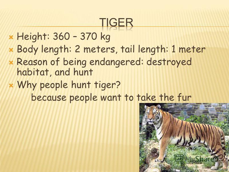 Height: 360 – 370 kg Body length: 2 meters, tail length: 1 meter Reason of being endangered: destroyed habitat, and hunt Why people hunt tiger? because people want to take the fur