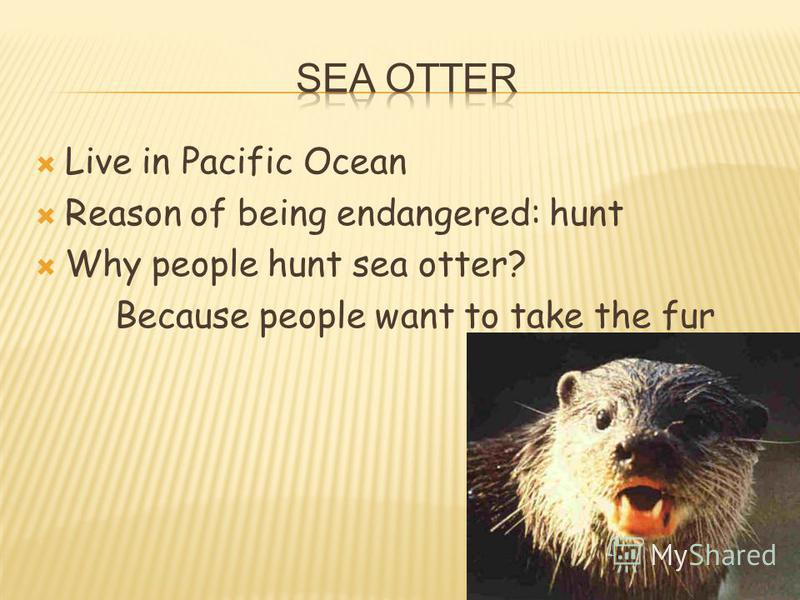Live in Pacific Ocean Reason of being endangered: hunt Why people hunt sea otter? Because people want to take the fur