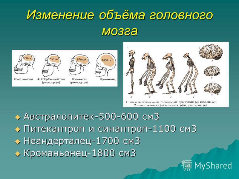 Изменение объёма головного мозга Австралопитек-500-600 см 3 Австралопитек-500-600 см 3 Питекантроп и синантроп-1100 см 3 Питекантроп и синантроп-1100 см 3 Неандерталец-1700 см 3 Неандерталец-1700 см 3 Кроманьонец-1800 см 3 Кроманьонец-1800 см 3