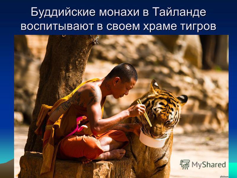 Буддийские монахи в Тайланде воспитывают в своем храме тигров