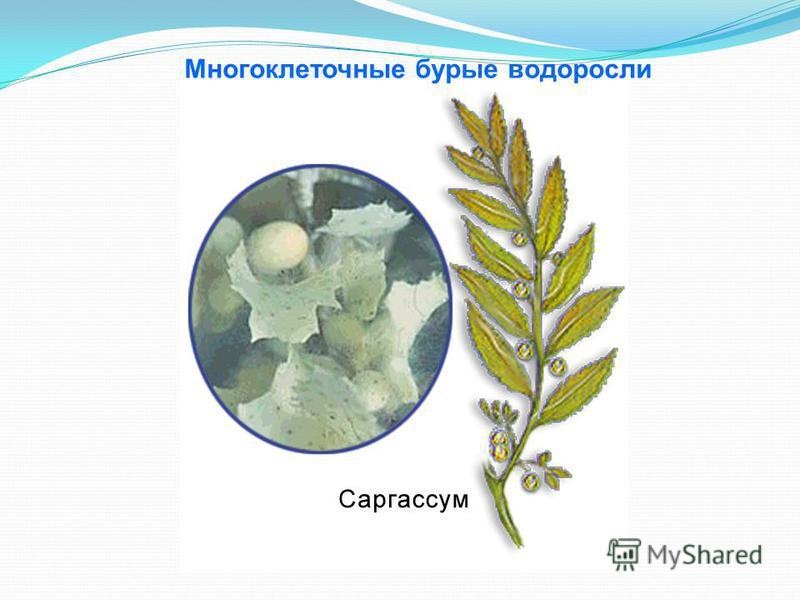Многоклеточные бурые водоросли