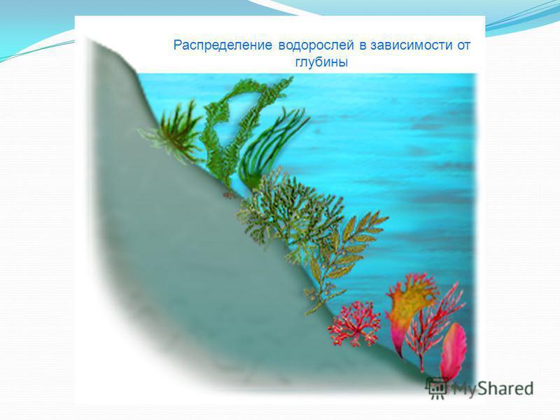 Распределение водорослей в зависимости от глубины