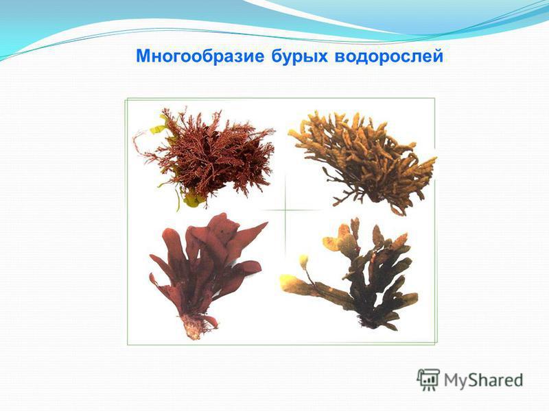 Многообразие бурых водорослей
