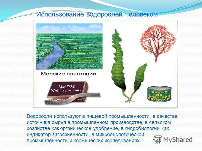 Использование водорослей человеком Водоросли используют в пищевой промышленности, в качестве источника сырья в промышленном производстве, в сельском хозяйстве как органическое удобрение, в гидробиологии как индикатор загрязненности, в микробиологичес