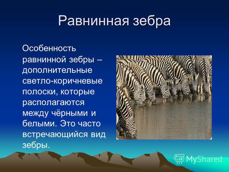 Равнинная зебра Особенность равнинной зебры – дополнительные светло-коричневые полоски, которые располагаются между чёрными и белыми. Это часто встречающийся вид зебры.