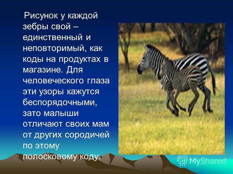 Рисунок у каждой зебры свой – единственный и неповторимый, как коды на продуктах в магазине. Для человеческого глаза эти узоры кажутся беспорядочными, зато малыши отличают своих мам от других сородичей по этому полосковому коду.