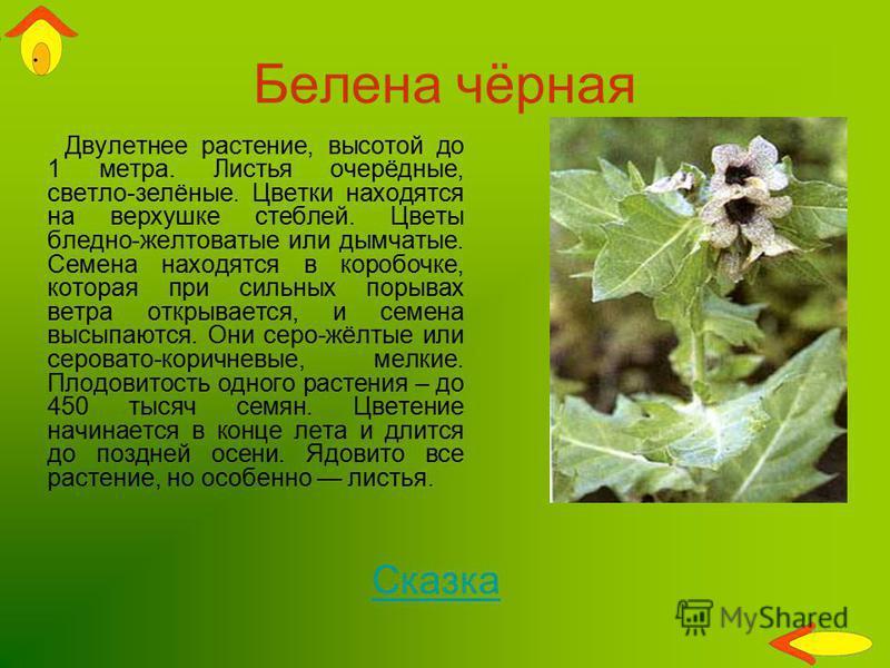 Белена чёрная Двулетнее растение, высотой до 1 метра. Листья очерёдные, светло-зелёные. Цветки находятся на верхушке стеблей. Цветы бледно-желтоватые или дымчатые. Семена находятся в коробочке, которая при сильных порывах ветра открывается, и семена