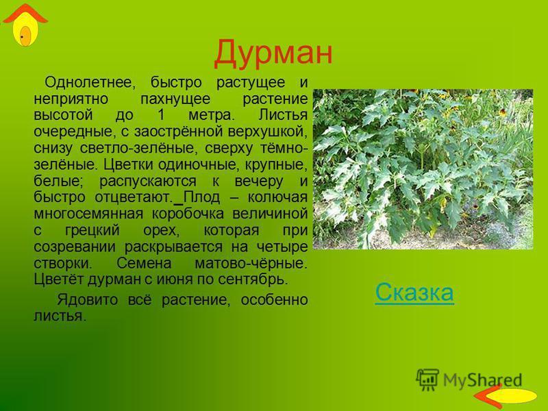 Дурман Однолетнее, быстро растущее и неприятно пахнущее растение высотой до 1 метра. Листья очередные, с заострённой верхушкой, снизу светло-зелёные, сверху тёмно- зелёные. Цветки одиночные, крупные, белые; распускаются к вечеру и быстро отцветают. П