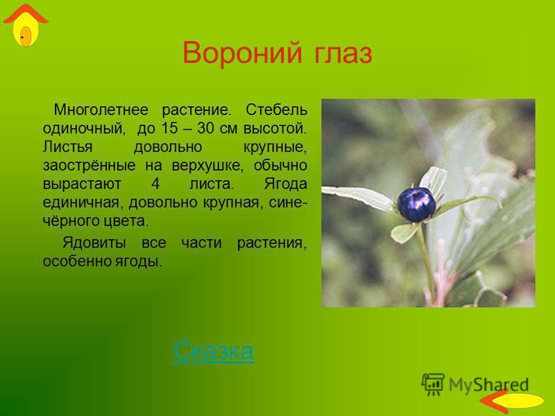 Вороний глаз Многолетнее растение. Стебель одиночный, до 15 – 30 см высотой. Листья довольно крупные, заострённые на верхушке, обычно вырастают 4 листа. Ягода единичная, довольно крупная, сине- чёрного цвета. Ядовиты все части растения, особенно ягод
