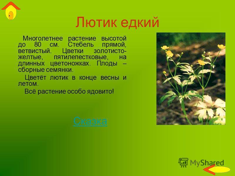Лютик едкий Многолетнее растение высотой до 80 см. Стебель прямой, ветвистый. Цветки золотисто- желтые, пятилепестковые, на длинных цветоножках. Плоды – сборные семянки. Цветёт лютик в конце весны и летом. Всё растение особо ядовито! Сказка