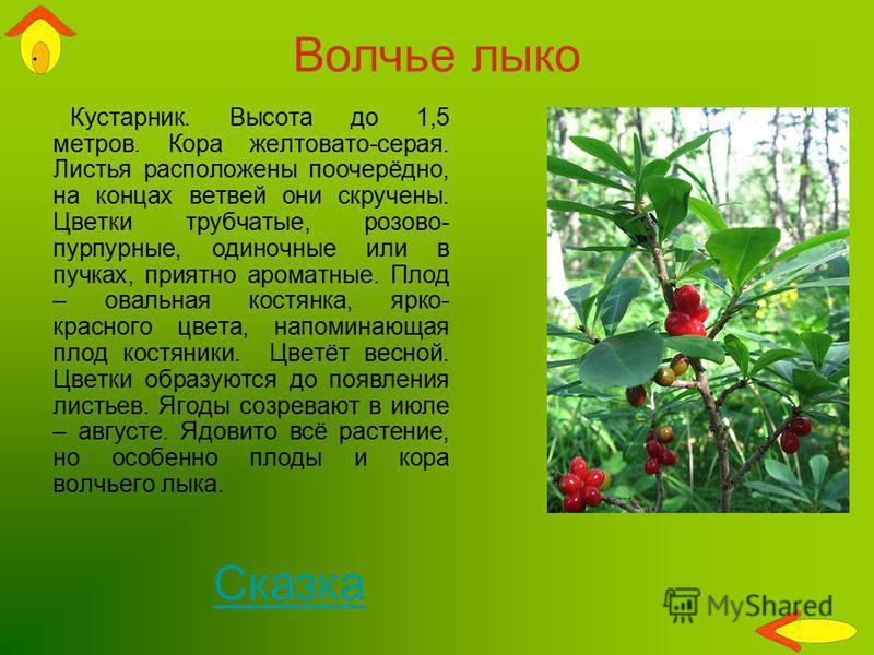 Волчье лыко Кустарник. Высота до 1,5 метров. Кора желтовато-серая. Листья расположены поочерёдно, на концах ветвей они скручены. Цветки трубчатые, розово- пурпурные, одиночные или в пучках, приятно ароматные. Плод – овальная костянка, ярко- красного