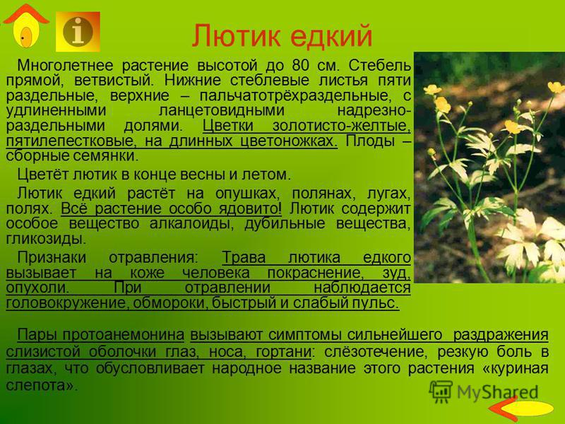 Многолетнее растение высотой до 80 см. Стебель прямой, ветвистый. Нижние стеблевые листья пяти раздельные, верхние – пальчатотрёхраздельные, с удлиненными ланцетовидными надрезно- раздельными долями. Цветки золотисто-желтые, пятилепестковые, на длинн