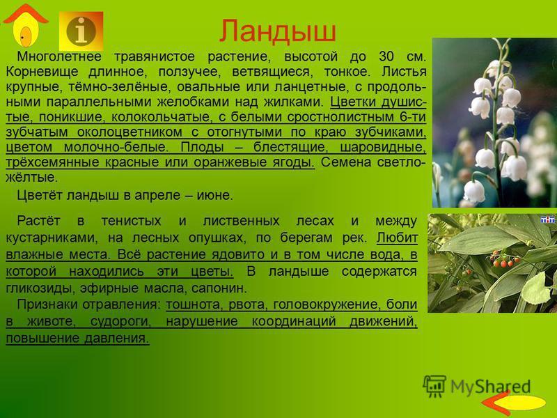 Ландыш Многолетнее травянистое растение, высотой до 30 см. Корневище длинное, ползучее, ветвящиеся, тонкое. Листья крупные, тёмно-зелёные, овальные или ланцетные, с продоль- ными параллельными желобками над жилками. Цветки душис- тые, поникшие, колок