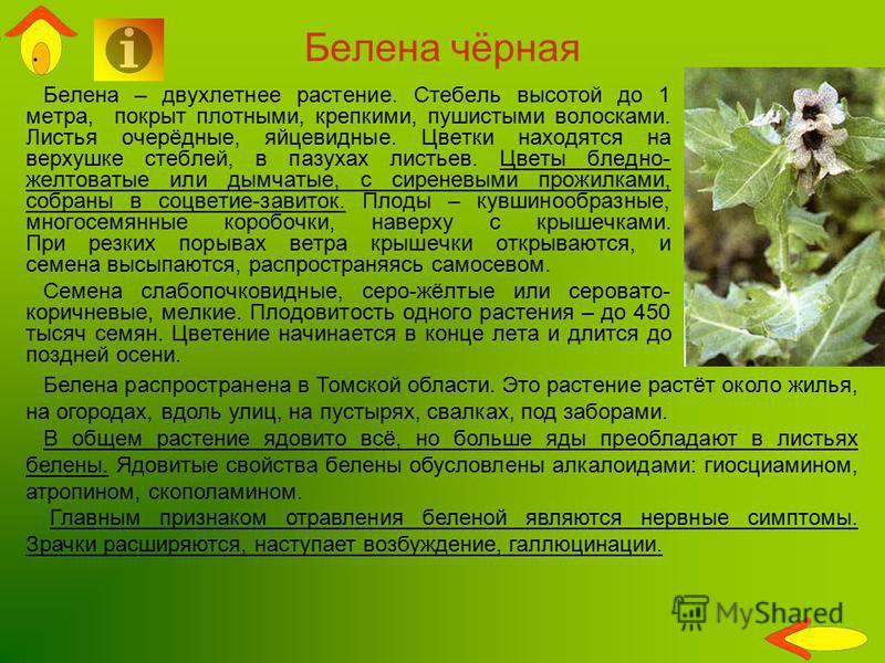 Белена чёрная Белена – двухлетнее растение. Стебель высотой до 1 метра, покрыт плотными, крепкими, пушистыми волосками. Листья очерёдные, яйцевидные. Цветки находятся на верхушке стеблей, в пазухах листьев. Цветы бледно- желтоватые или дымчатые, с си