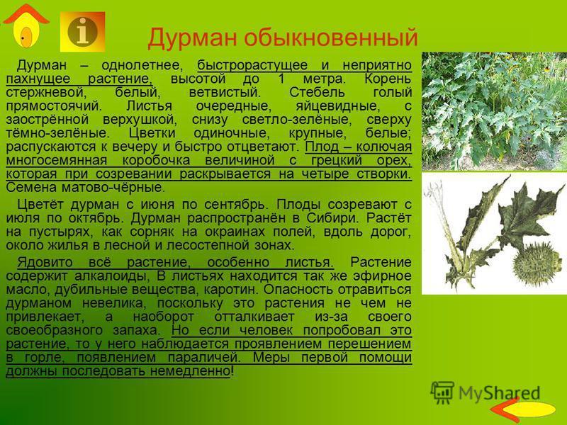 Дурман обыкновенный Дурман – однолетнее, быстрорастущее и неприятно пахнущее растение, высотой до 1 метра. Корень стержневой, белый, ветвистый. Стебель голый прямостоячий. Листья очередные, яйцевидные, с заострённой верхушкой, снизу светло-зелёные, с