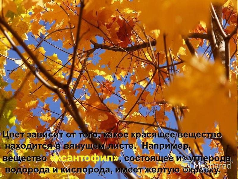 Цвет зависит от того, какое красящее вещество находится в вянущем листе. Например, находится в вянущем листе. Например, вещество «ксантофилл», состоящее из углерода, водорода и кислорода, имеет желтую окраску. водорода и кислорода, имеет желтую окрас