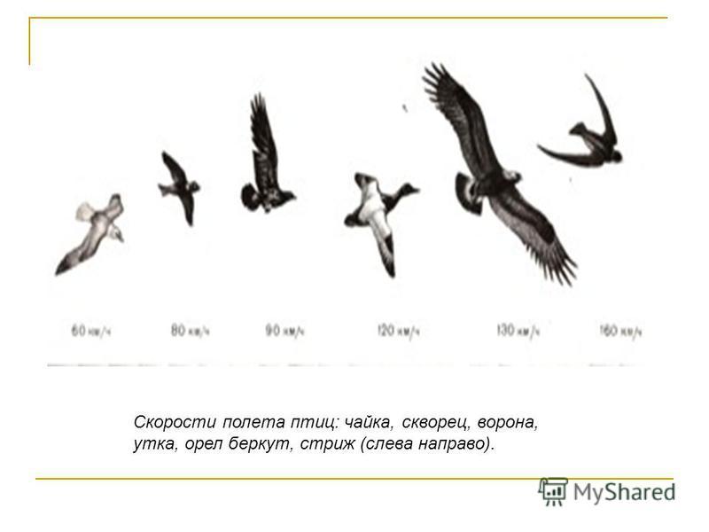 Скорости полета птиц: чайка, скворец, ворона, утка, орел беркут, стриж (слева направо).