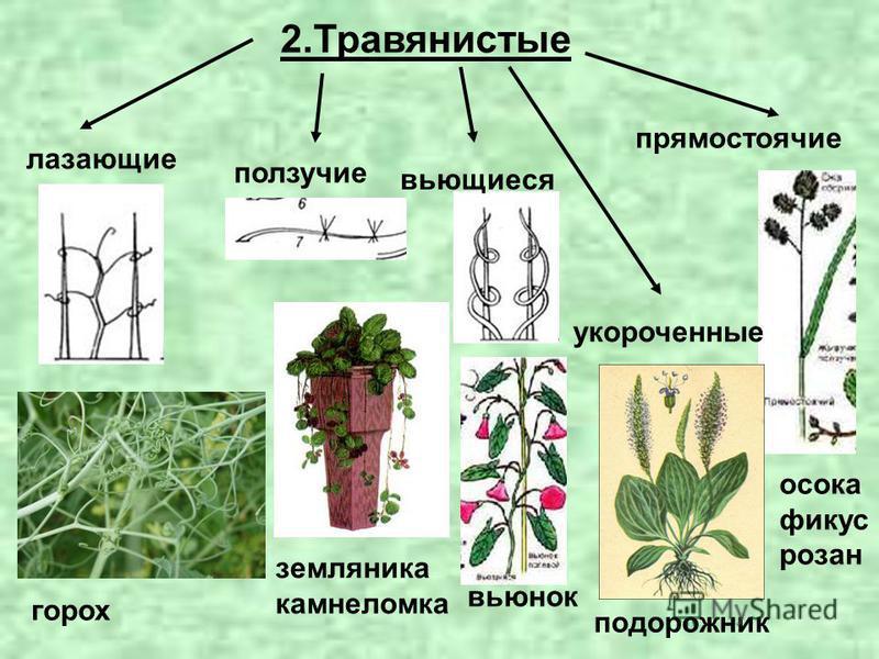 2. Травянистые лазающие ползучие вьющиеся прямостоячие укороченные горох земляника камнеломка вьюнок подорожник осока фикус розан
