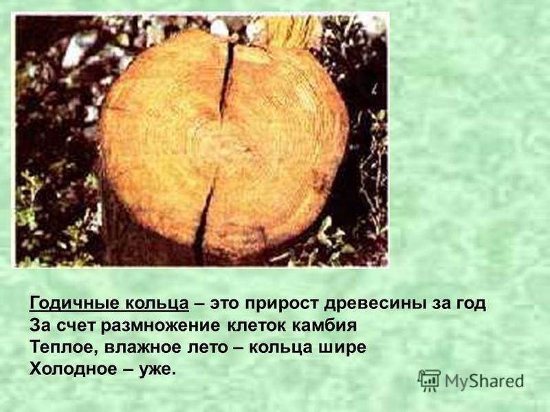 Годичные кольца – это прирост древесины за год За счет размножение клеток камбия Теплое, влажное лето – кольца шире Холодное – уже.