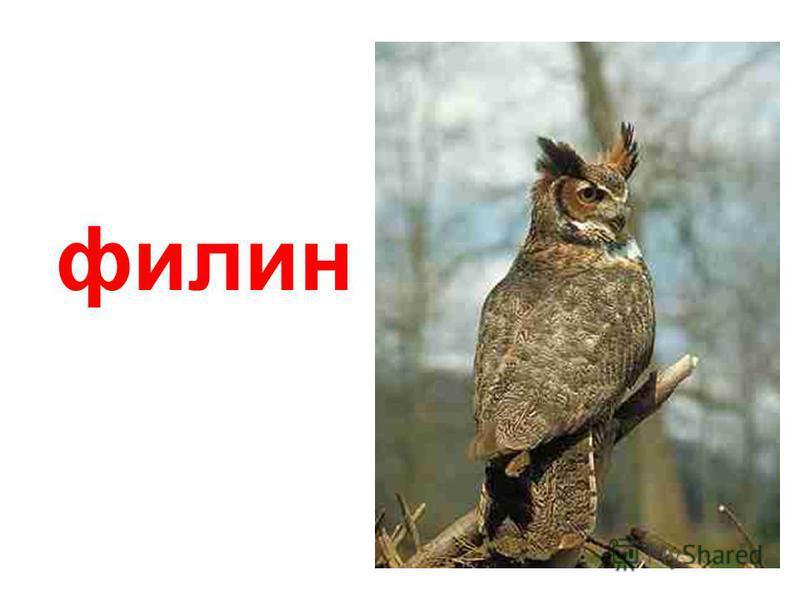 сипуха (амбарная сова)