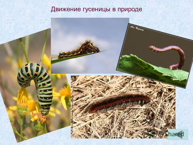 Движение гусеницы в природе
