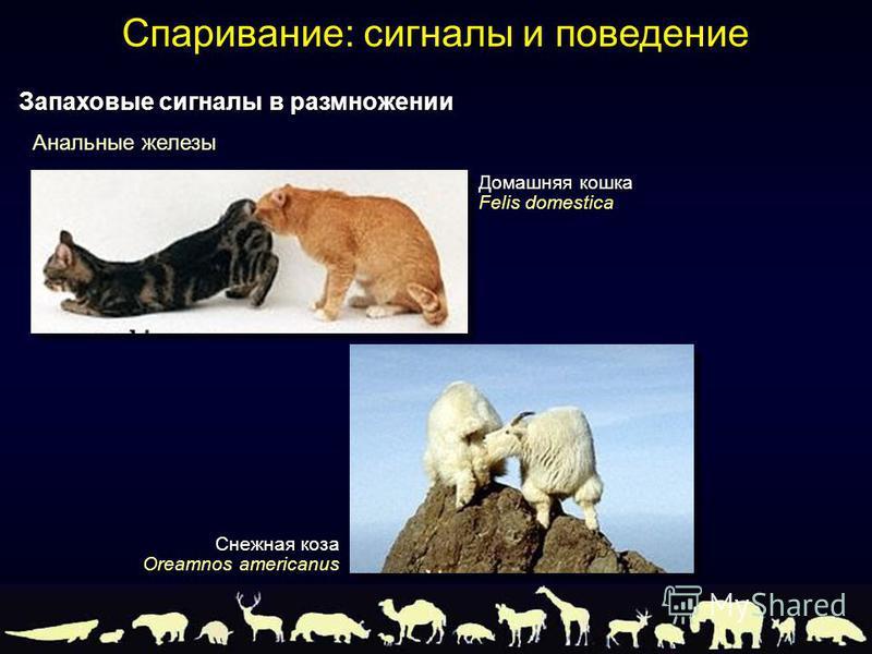Домашняя кошка Felis domestica Снежная коза Oreamnos americanus Анальные железы Запаховые сигналы в размножении Спаривание: сигналы и поведение