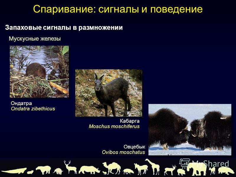 Ондатра Ondatra zibethicus Кабарга Moschus moschiferus Овцебык Ovibos moschatus Мускусные железы Запаховые сигналы в размножении Спаривание: сигналы и поведение