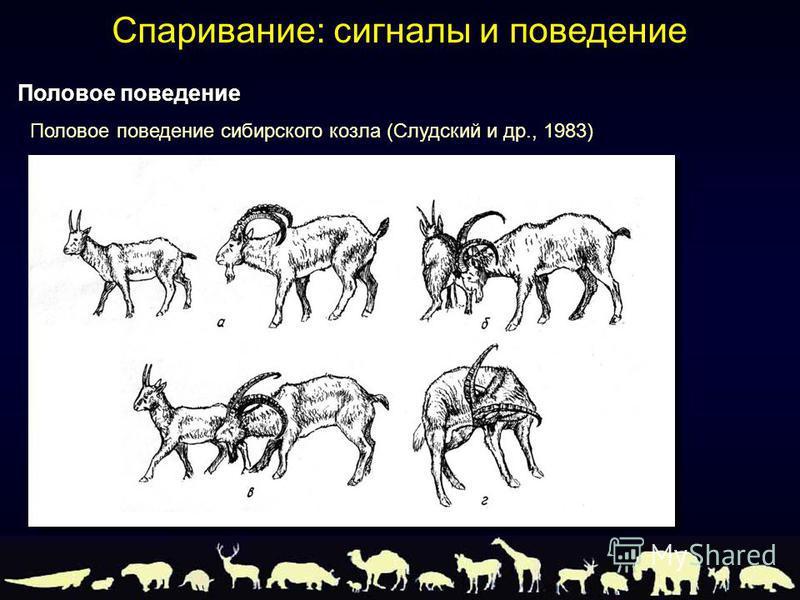 Половое поведение сибирского козла (Слудский и др., 1983) Половое поведение Спаривание: сигналы и поведение