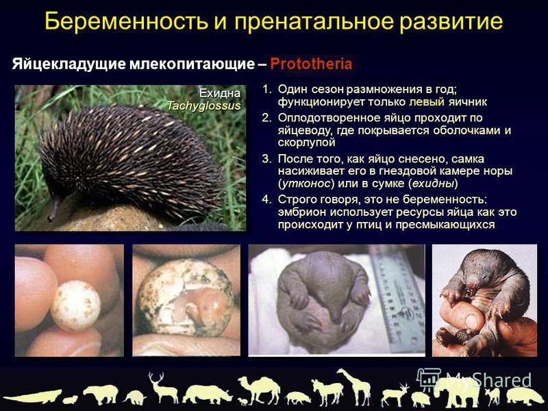 1. Один сезон размножения в год; функционирует только левый яичник 2. Оплодотворенное яйцо проходит по яйцеводу, где покрывается оболочками и скорлупой 3. После того, как яйцо снесено, самка насиживает его в гнездовой камере норы (утконос) или в сумк