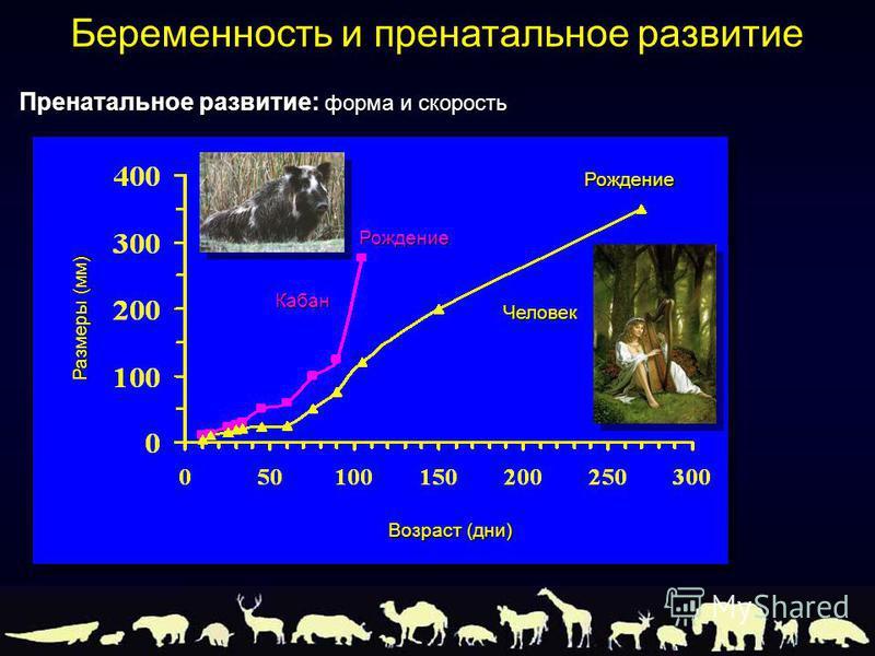 Пренатальное развитие: форма и скорость Беременность и пренатальное развитие Размеры (мм) Кабан Возраст (дни) Человек Рождение Рождение
