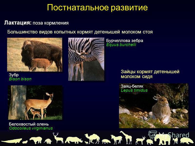 Большинство видов копытных кормят детенышей молоком стоя Лактация: поза кормления Постнатальное развитие Зубр Bison bison Бурчеллова зебра Equus burchelli Белохвостый олень Odocoileus virginianus Зайцы кормят детенышей молоком сидя Заяц-беляк Lepus t