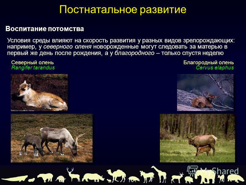 Северный олень Rangifer tarandus Благородный олень Cervus elaphus Условия среды влияют на скорость развития у разных видов зрелорождающих: например, у северного оленя новорожденные могут следовать за матерью в первый же день после рождения, а у благо