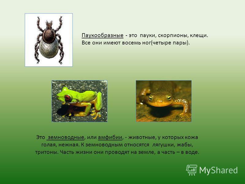 Паукообразные - это пауки, скорпионы, клещи. Все они имеют восемь ног(четыре пары). Это земноводные, или амфибии, - животные, у которых кожа голая, нежная. К земноводным относятся лягушки, жабы, тритоны. Часть жизни они проводят на земле, а часть – в