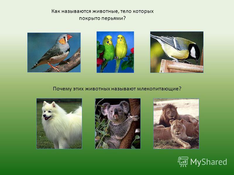 Как называются животные, тело которых покрыто перьями? Почему этих животных называют млекопитающие?