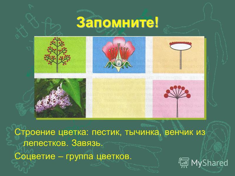Запомните! Строение цветка: пестик, тычинка, венчик из лепестков. Завязь. Соцветие – группа цветков.