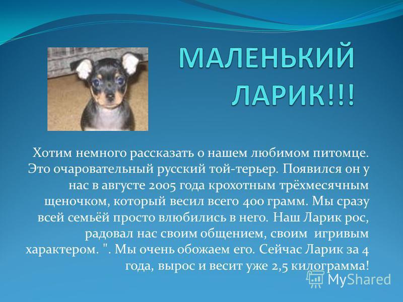Хотим немного рассказать о нашем любимом питомце. Это очаровательный русский той-терьер. Появился он у нас в августе 2005 года крохотным трёхмесячным щеночком, который весил всего 400 грамм. Мы сразу всей семьёй просто влюбились в него. Наш Ларик рос