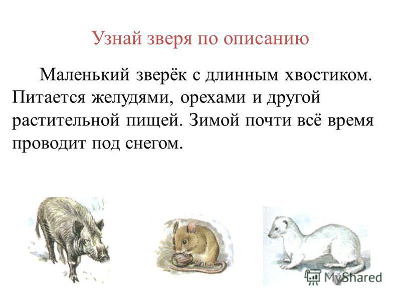 Узнай зверя по описанию Маленький зверёк с длинным хвостиком. Питается желудями, орехами и другой растительной пищей. Зимой почти всё время проводит под снегом.